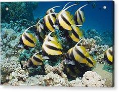 Red Sea Bannerfish Acrylic Print by Georgette Douwma
