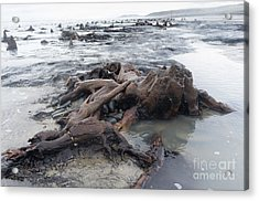 Bronze Age Sunken Forest At Borth On The West Wales Coast Uk Acrylic Print
