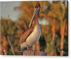 Acrylic Print featuring the photograph 9- Brown Pelican by Joseph Keane