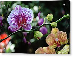 Butterfly Orchid Flowers Acrylic Print