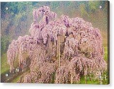 Acrylic Print featuring the photograph Miharu Takizakura Weeping Cherry09 by Tatsuya Atarashi