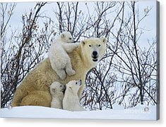 Polar Bear And Cubs Acrylic Print by Jean-Louis Klein and Marie-Luce Hubert