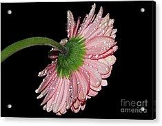 Pink Gerber Acrylic Print by Elvira Ladocki