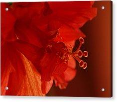 A Backlit Hibiscus Acrylic Print