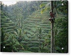A Bahasa, Or Coconut Tree Climber Acrylic Print by Justin Guariglia