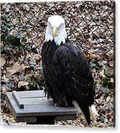 A Bald Eagle Acrylic Print by Eva Thomas