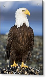 A Bald Eagle Acrylic Print by John Hyde - Printscapes