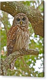 A Barred Owl Acrylic Print