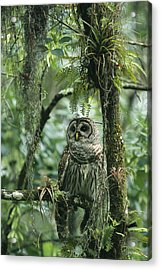 A Barred Owl Perches On A Tree Branch Acrylic Print by Klaus Nigge