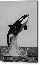 Orca - The Joy Of Freedom Acrylic Print