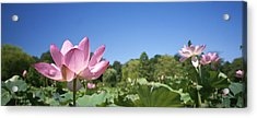 A Beautiful Emperor Lotus Blooms Acrylic Print by Richard Nowitz