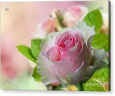 A Beautiful Rose Acrylic Print