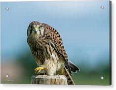 A Beautiful Young Kestrel Looking Behind You Acrylic Print
