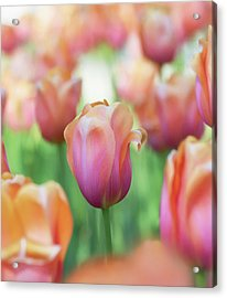 A Bed Of Tulips Is A Feast For The Eyes. Acrylic Print