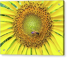 A Bee On A Sunflower Acrylic Print