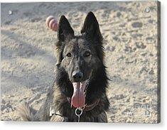 A Belgian Tervuren Military Working Dog Acrylic Print by Stocktrek Images
