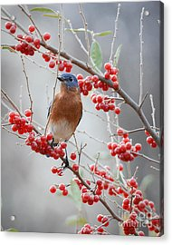 A Berry Good Morning Acrylic Print by Amy Porter