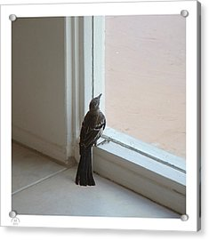 A Bird At A Plate Glass Window Acrylic Print