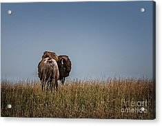 A Bison Interrupted Acrylic Print by Tamyra Ayles