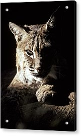 A Bobcat Sitting In A Ray Of Sun Acrylic Print by Jason Edwards