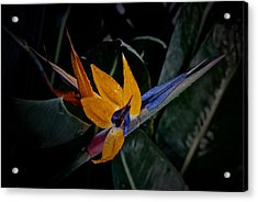 A Bright Blooming Bird Acrylic Print