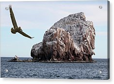 A Brown Pelican Does A Flyby Of A Guano Covered Desert Island  Acrylic Print