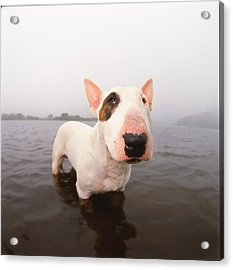A Bull Terrier In Water Acrylic Print by Cica Oyama