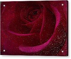 A Burgundy Rose In Snow Acrylic Print by Sarah Vernon