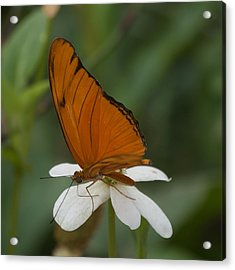 A Butterfly Lands Upon A White Flower Acrylic Print by Susan Heller