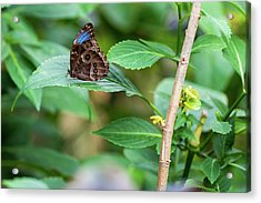 Acrylic Print featuring the photograph A Butterfly Waiting by Raphael Lopez
