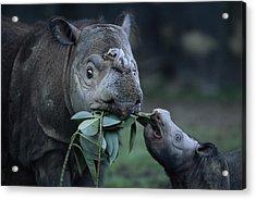 A Captive Sumatran Rhinoceros Acrylic Print