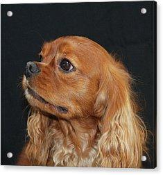 A Caramel Look Acrylic Print by Daphne Sampson