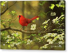 A Cardinal And His Dogwood Acrylic Print by Darren Fisher