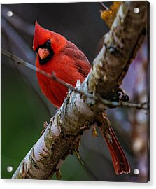 A Cardinal In Spring   Acrylic Print