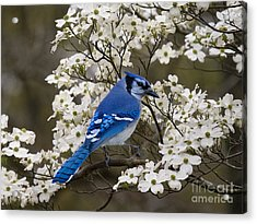 A Chatty Bluejay Acrylic Print