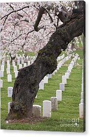 A Cherry Tree In Arlington National Cemetery Acrylic Print by Tim Grams