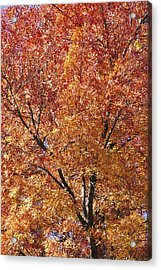 A Claret Ash Tree In Its Autumn Colors Acrylic Print by Jason Edwards