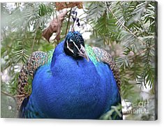 A Close Up Look At A Blue Peafowl Acrylic Print