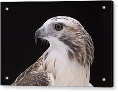 A Close-up Of A Kriders Red-tailed Acrylic Print by Joel Sartore