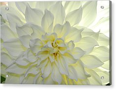 A Close Up Of A White Dahlia Flower Acrylic Print by Raul Touzon