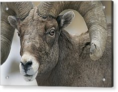 A Close View Of A Male Bighorn Sheep Acrylic Print by Tom Murphy