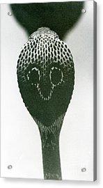 A Cobra With Raised Head And Flared Hood  Acrylic Print