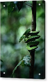 A Coiled Green Tree Python Acrylic Print by Sam Abell