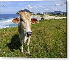 A Cow At The Beach Acrylic Print