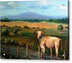 A Cow Up In Missouri Acrylic Print