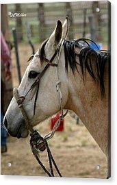 A Cowboys Partner.. Acrylic Print by Carol Miller