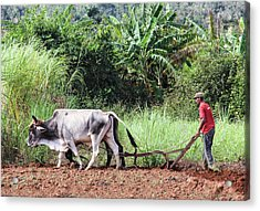 A Cuban Tractor Acrylic Print