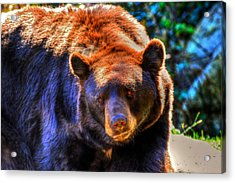 A Curious Black Bear Acrylic Print