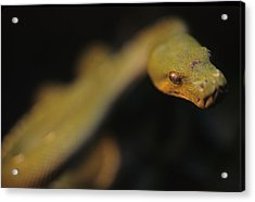 A Curious Immature Green Tree Python Acrylic Print by Taylor S. Kennedy