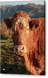A Curious Red Cow Acrylic Print